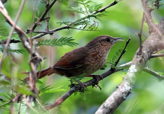 Spot-breasted-Thornbird-cuestadelobispa_8532